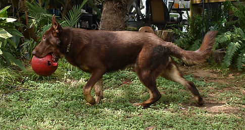 chocolate liver giant german shepherd pu