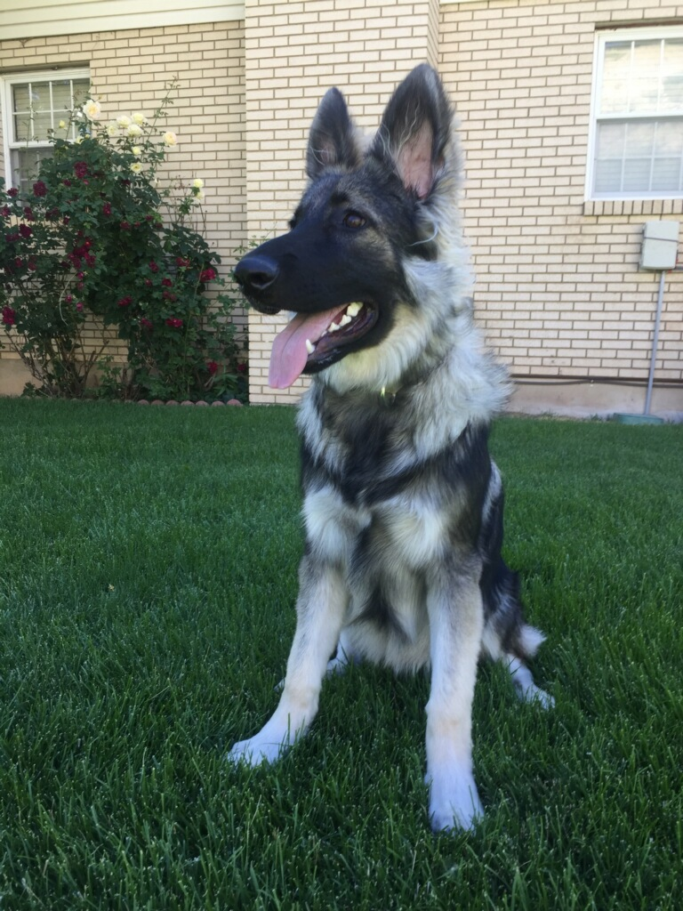 silver sable long coat german shepherd in texas