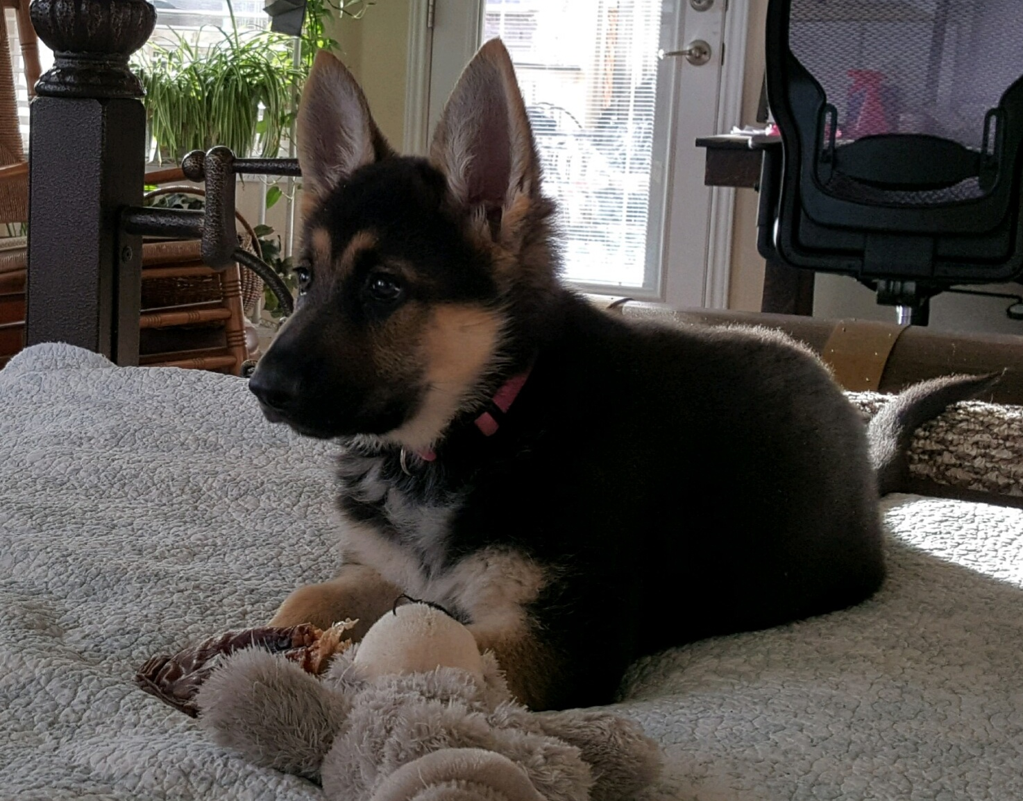 Brahm and Zenzi large black and tan german shepherd puppy in tx