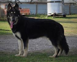 zorra wolf mask long coat german shepherd  (2)