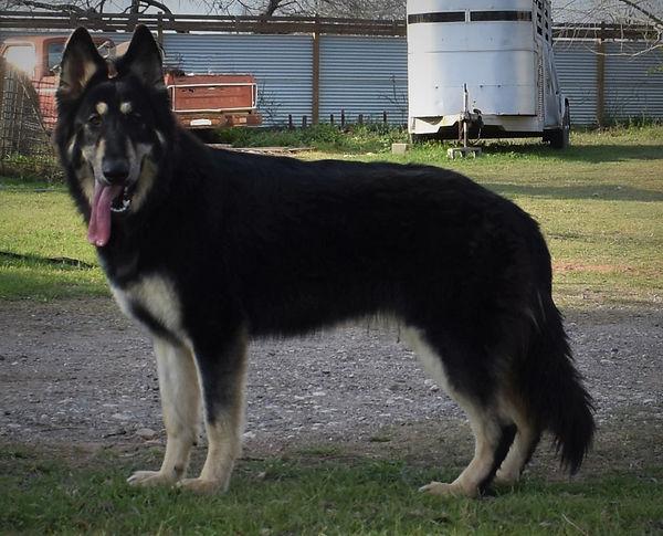 zorra wolf mask long coat german shepher