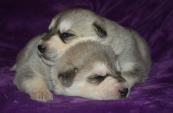 silver sable wolf mask german shepherd puppies for sale in tx