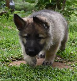 light silver sable german shepherd puppy