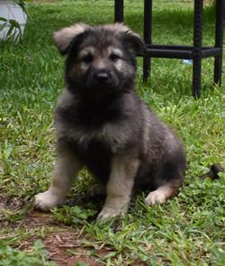 black silver sable german shepherd puppy