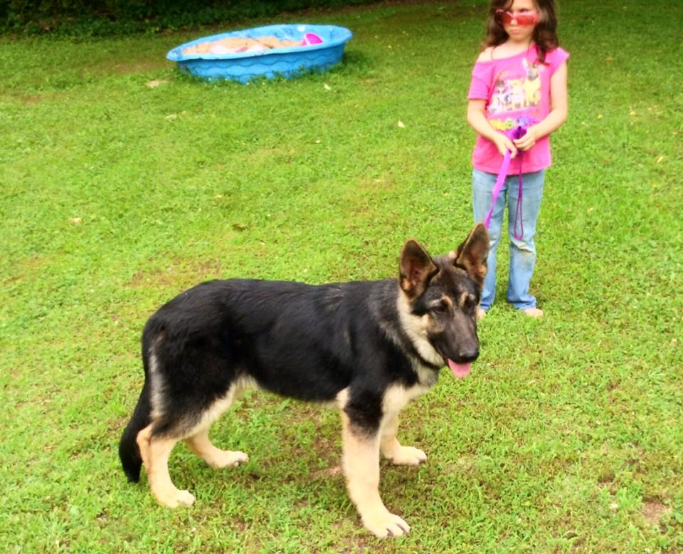 5 mnths Ziva Duke male, extra large german shepherd.jpg