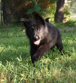 yellow collar girl solid black german shepherd (2)