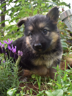 Prada and Brahm long coat black and red german shepherd puppy