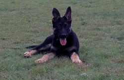 extra large german shepherd puppy (1)