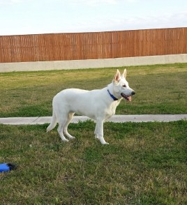 white large german shepherd, wolfgang haus german shepherds Tx.jpg