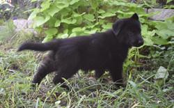 yellow collar girl solid black german shepherd (1)