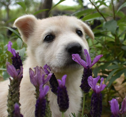 light silver sable german shepherd puppy for sale in texas