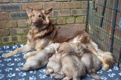 liver and tan german shepherd mom with liver sable puppies-Owner and breeder Fiona Gierus