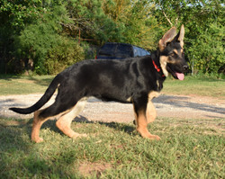 black and tan large german shepherd pupp
