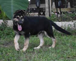 red collar Big huge giant black and silver german shepherd puppy (3)