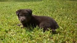bicolor german shepherd puppy for sale in texas (1)