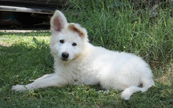 white long coat large german shepherd pu