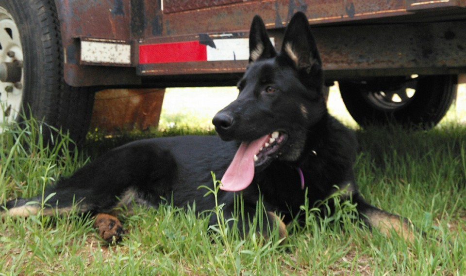 dark bicolor german shepherd in texas
