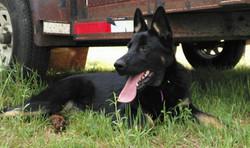 dark bicolor german shepherd in texas