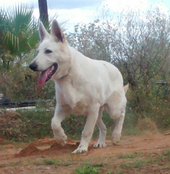 extra large white german shepherd puppy for sale in tx, san antonio texas puppies.jpg