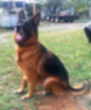 black and red german shepherd in texas (