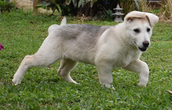 reverse mask silver sable german shepherd puppy for sale in tx