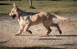 Tzarina texaschampagne white german shepherd, wolfgang haus german shepherds
