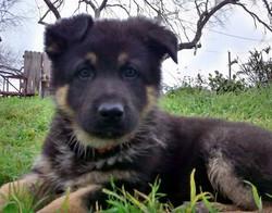 giant extra large german shepherd puppy in texas, wolfgang haus german shepherds