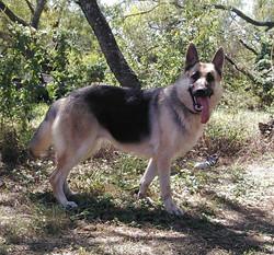 giant black and silver cream german shepherd, wolfgang haus german shepherd.jpg