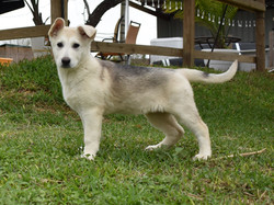 revers mask silver sable german shepherd puppy for sale in texas