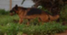 senga black and red german shepherd in t