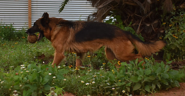 senga black and red german shepherd in t