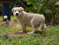 maskless silver sable german shepherd puppy for sale in texas wolfgang haus german shepherds (2)