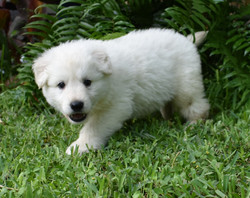 white long coat german shepherd puppy (1
