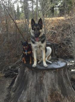 King and Zenzi male puppy 1 year
