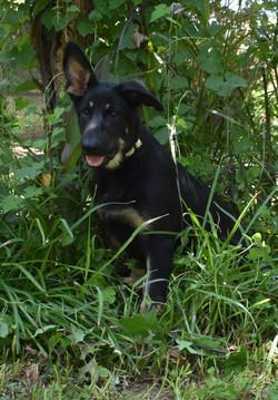snake collar big extra large dark german shepherd puppy for sale (1)