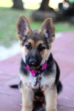 Savannah and Ruger black and tan german shepherd puppy in texas