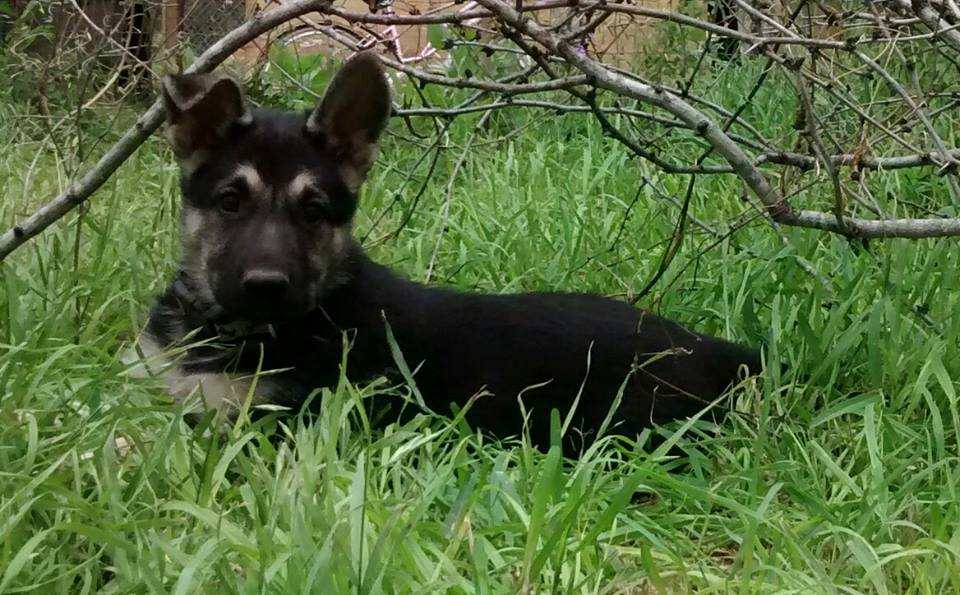 black and silver female german shepherd puppy for sale.jpg