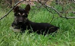 black and silver female german shepherd puppy for sale.jpg