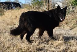 large solid black long coat german sheph