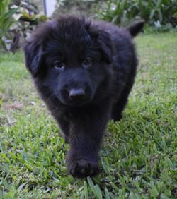 solid black long coat german shepherd puppy (2)
