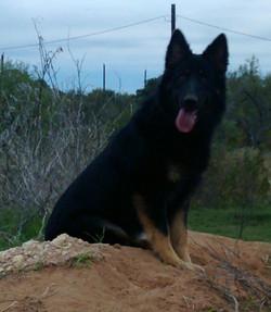 bi color german shepherd long coat german shepherd in Tx.jpg