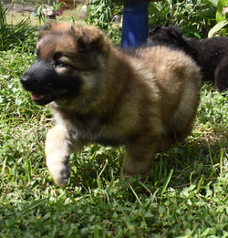 king and chanel sable long coat male german shepherd puppy