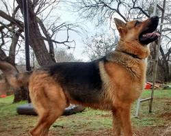 black and red extra large big boned german shepherd, wolfgang haus german shepherds tx