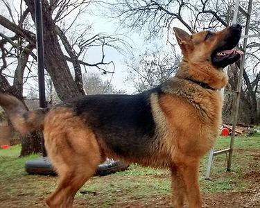big german shepherd puppy for sale in tx