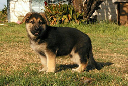Brahm and Zenzi male 8 weeks old, extra large black and tan german shepherd puppy