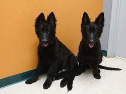 large solid black long coat german shepherd puppies