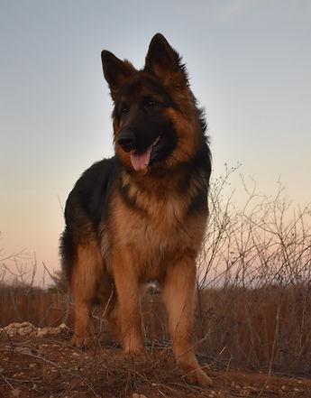 long coat black and red german shepherd