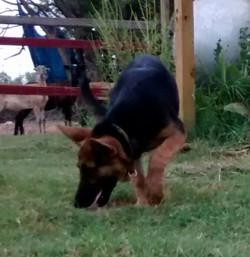 black and red german shepherd puppy for sale in texas tx.jpg
