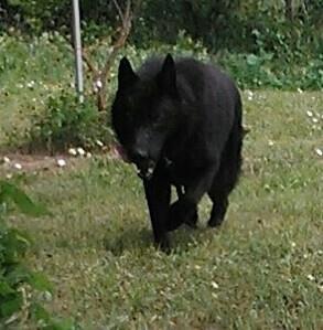 z cobalt, old fashioned solid black german shepherd.jpg