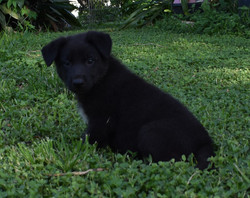 extreme bicolored german shepherd puppy  in texas